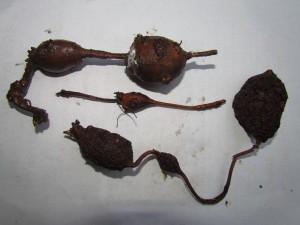 Apios americana, Groundnut