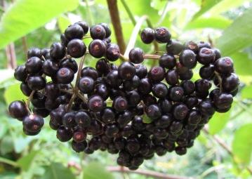 IMG_0038  sambucus nigra canadensis elderberry cropped