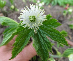 goldenseal bloom