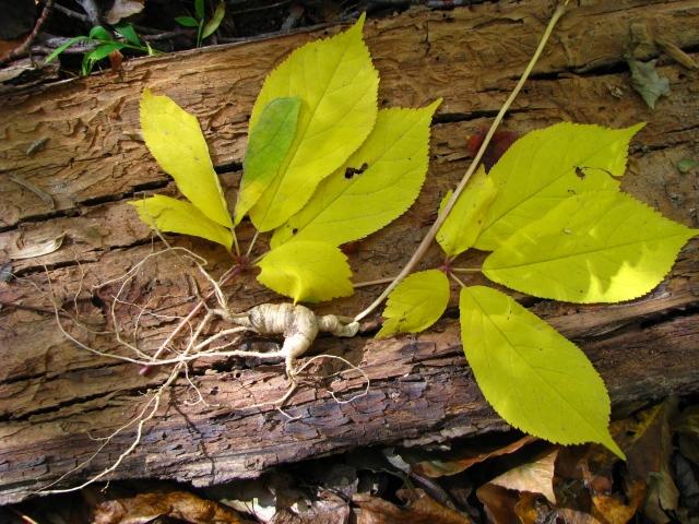 Panax-quiquefolius-American ginseng