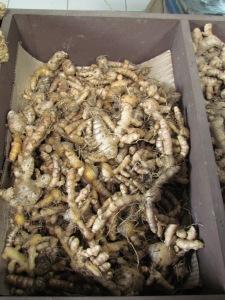 Curcuma longa - turmeric roots