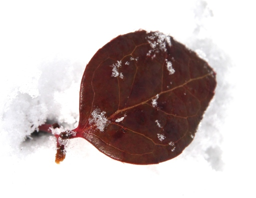 IMG_0886 wintergreen snow leaf - Version 2