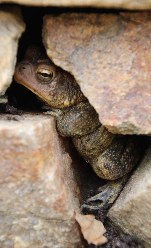 American toad in the stone wall