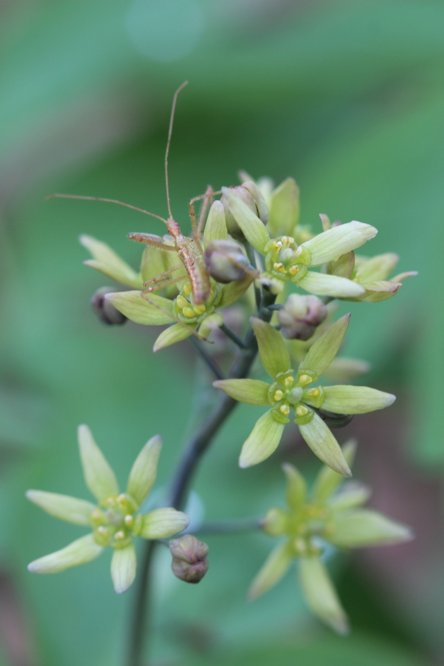 Caulophyllum thalictroides - blue cohosh - in bloom