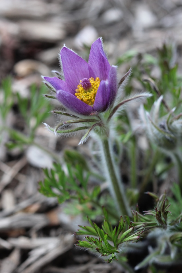 Anemone pulsatilla in bloom