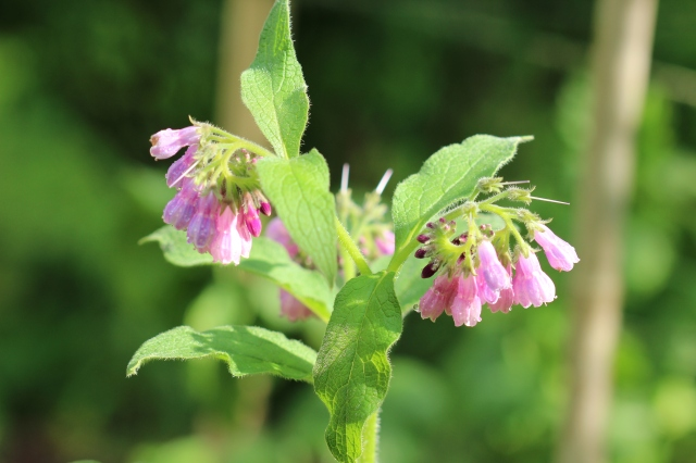 Symphytum officinale - Comfrey - in bloom