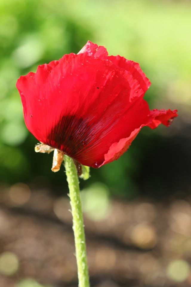 Papaver bracteatum -Iranian poppy