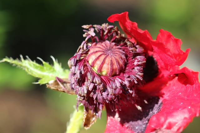 Papaver bracteatum - Iranian poppy - after the hail storm