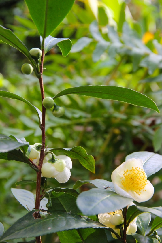 Camelia sinensis - tea in flower