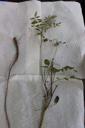 Glycyrrhiza glabra - licorice root (left) and stem leaf (right) just harvested from the Green Farmacy Garden