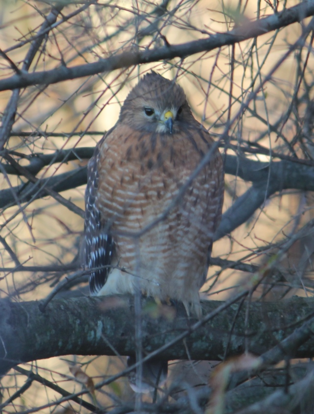 IMG_6869 red shouldeered hawk