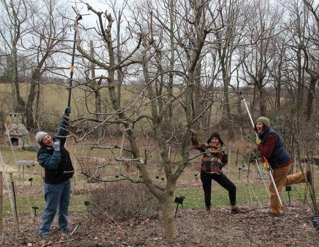 Wendy, Hillary and Porter prune the Aesculus glabra Buckeye.
