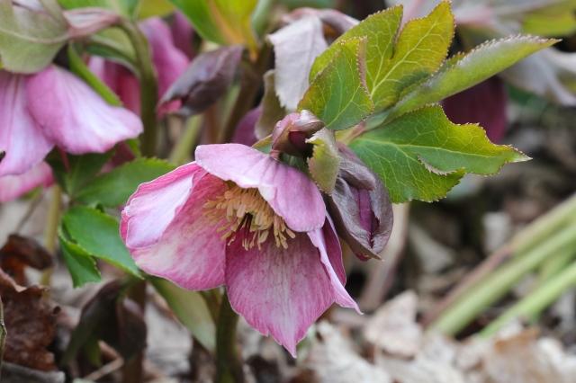 IMG_9245 lenten rose helleborus niger