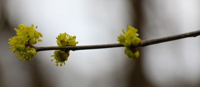 IMG_9966 lindera benzoin spice bush  flowers