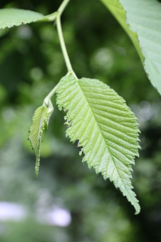 slippery elm leaf - note the serrated leaves and the uneven leaf base