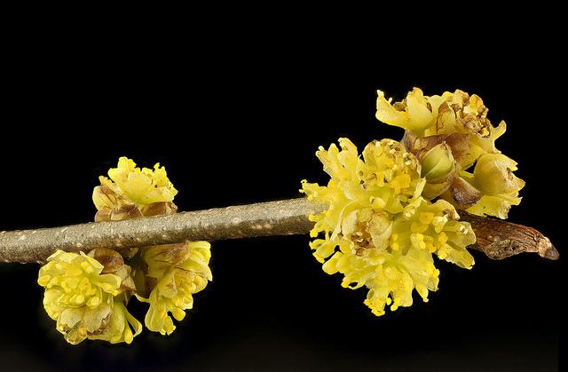 male staminate flowers lindera benzoin spicebush