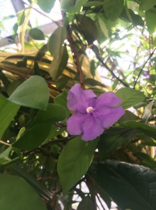 brunfelsia leaf shape