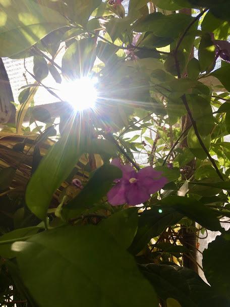 brunfelsia sunburst2