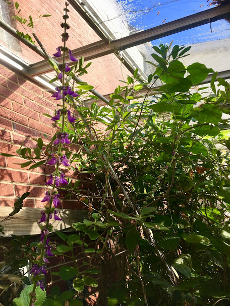 plectranthus & tangle o'tropicals