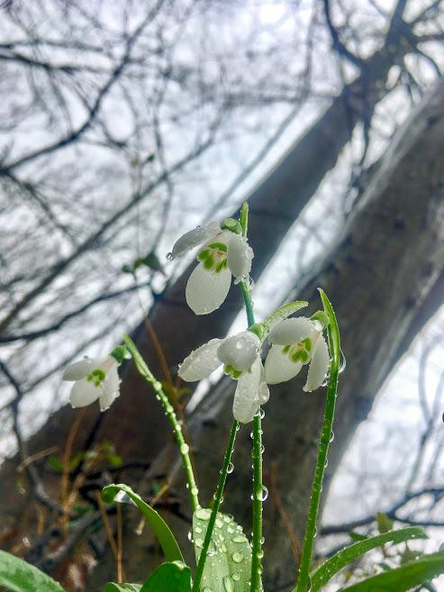 s bedew'd snowdrops