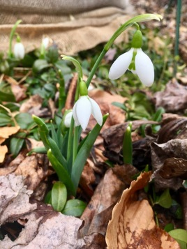 sfirst snowdrops