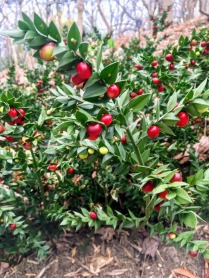 Adorned Ruscus aculeatus with its berry-jewels : butcher's broom
