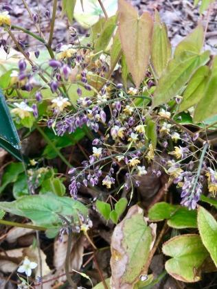 Epimedium sagittatum wee flowers: Ying Yang Huo : horny goat weed