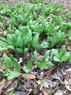 woodland delicacy Allium tricoccum : ramps