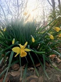 simple Narcissus at Sunriseuss