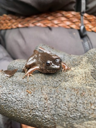 Green frog resident in the little lotus pond