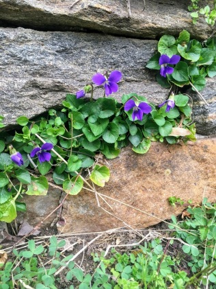 Viola odorata papilio-like resilient treasures growing through the stonewall cracks : sweet violet