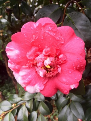 variagated Camellia japonica