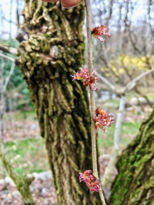 Ulmus rubra : native slippery elm flowers and bark :: another potent medicine for this season as a mucilaginous herb known for soothing & calming the respiratory system & lungs <3