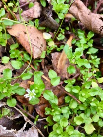 *)O( tri-medicine: The Maiden : Stellaria media : chickweed : nourishing spring edible <3*