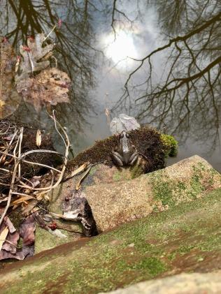 Large pond resident