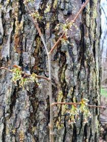Ulmus americana : american elm