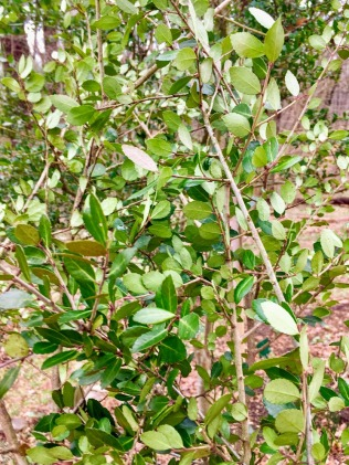 Ilex vomitoria : Yaupon holly, pruning to be roasted & stored for tea