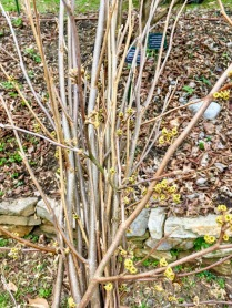 Hamamelis pruning to be turned into basket & medicine <3