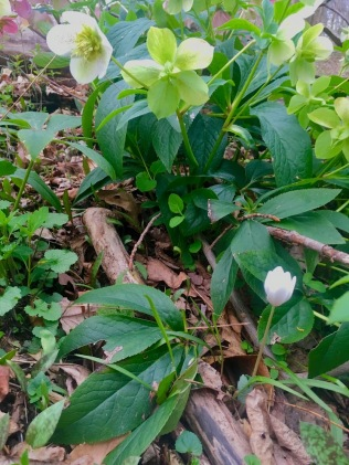 Woodland Helleborus and Sanquinaria surprise