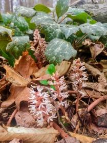 Mountain spurge : Dappling the forest soil as hidden gems, Pachysandra procumbens flowers : moutain spurge