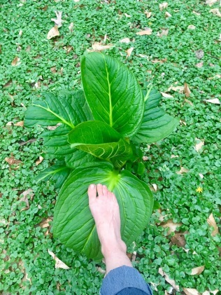 giant skunk cabbage leaf : size 6.5 foot for measure