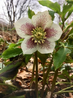 The first Helleborus